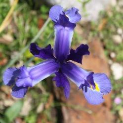 Iris - die Staude des Jahres
